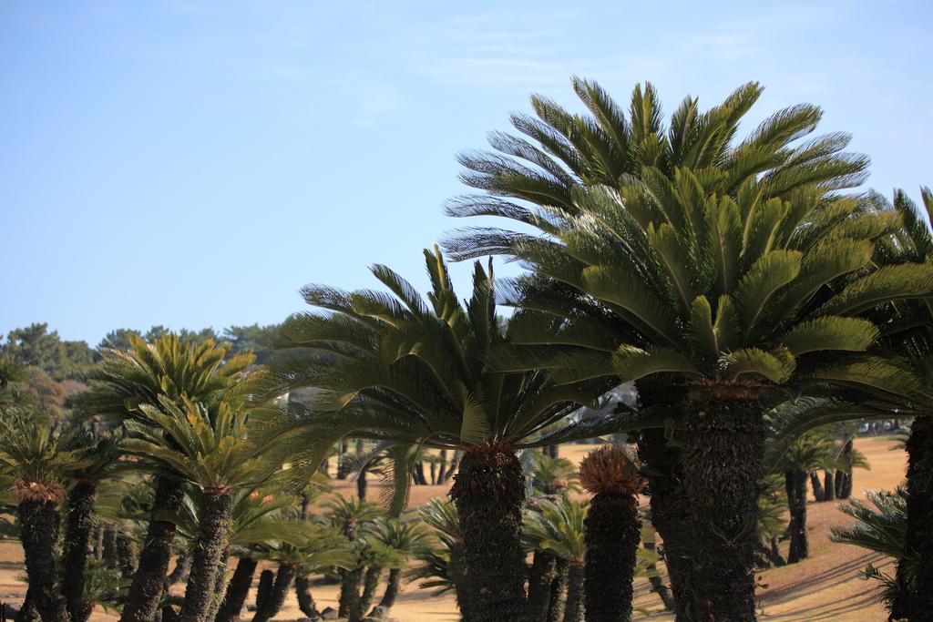 фото пальмы саговая